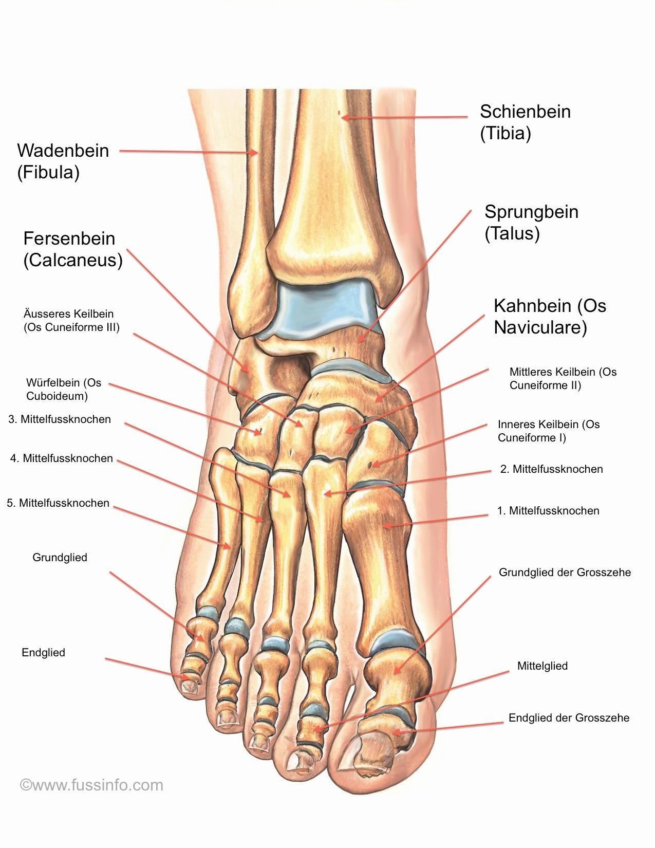 Fantastisch Anatomie Knochen Fuß Galerie - Menschliche Anatomie ...
