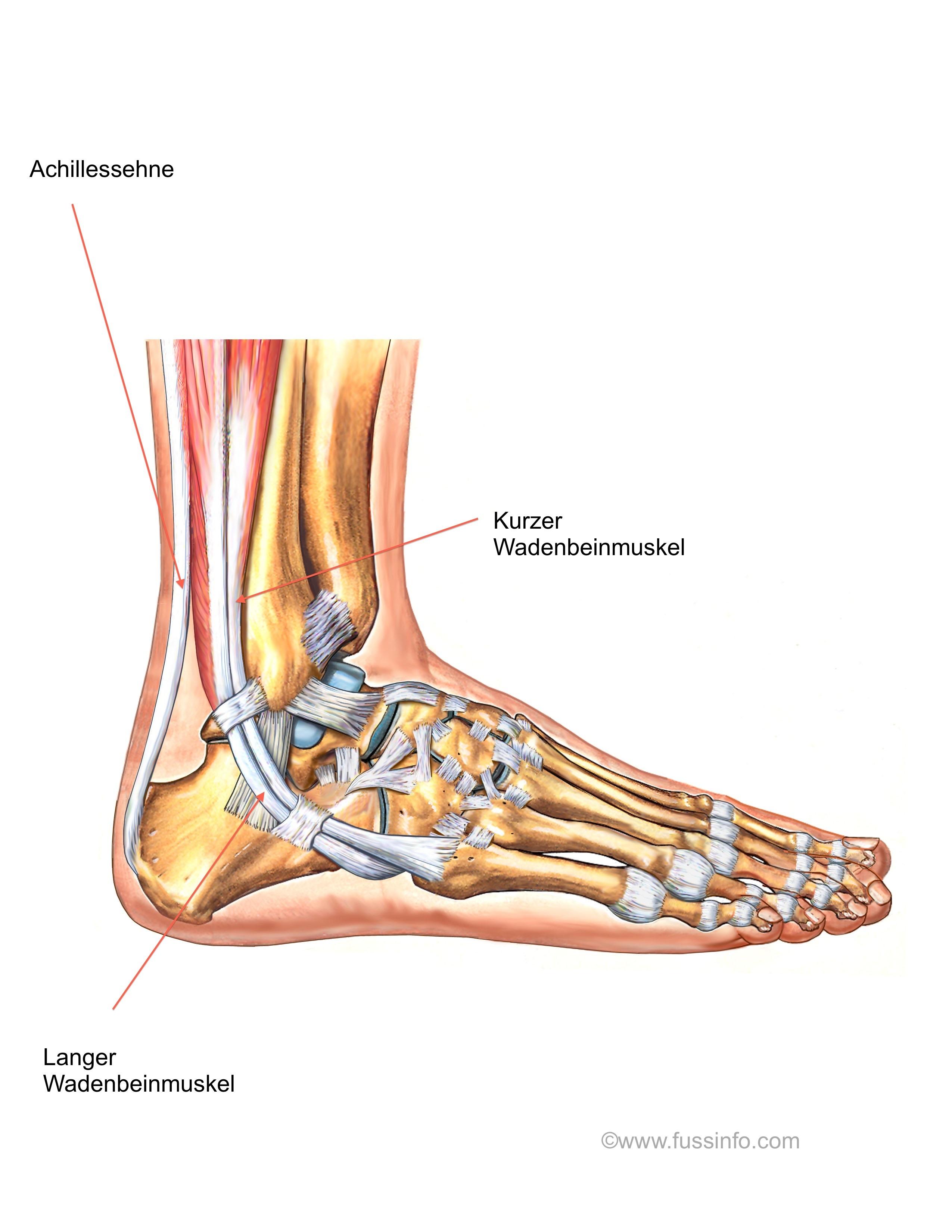 Muskeln und Sehnen des Fusses und Sprunggelenkes – fussInfo