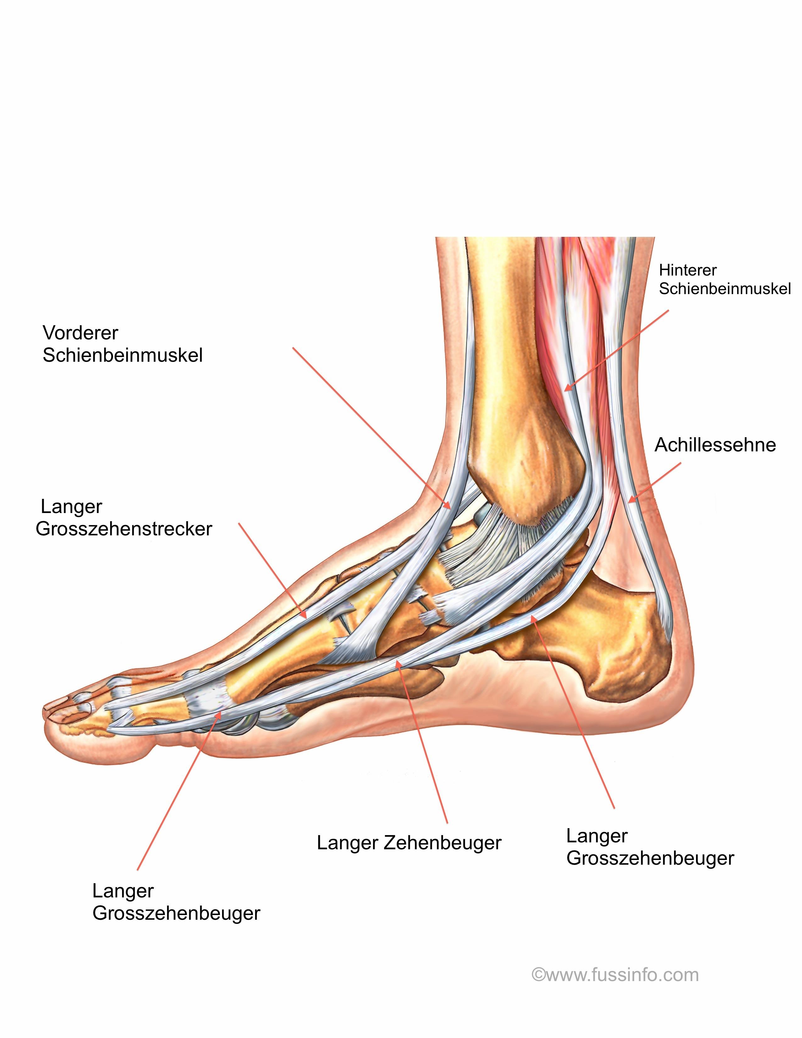 Beste Anatomie Fuß Sehnen Galerie - Menschliche Anatomie Bilder ...